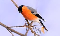 bullfinch-2346035_1920