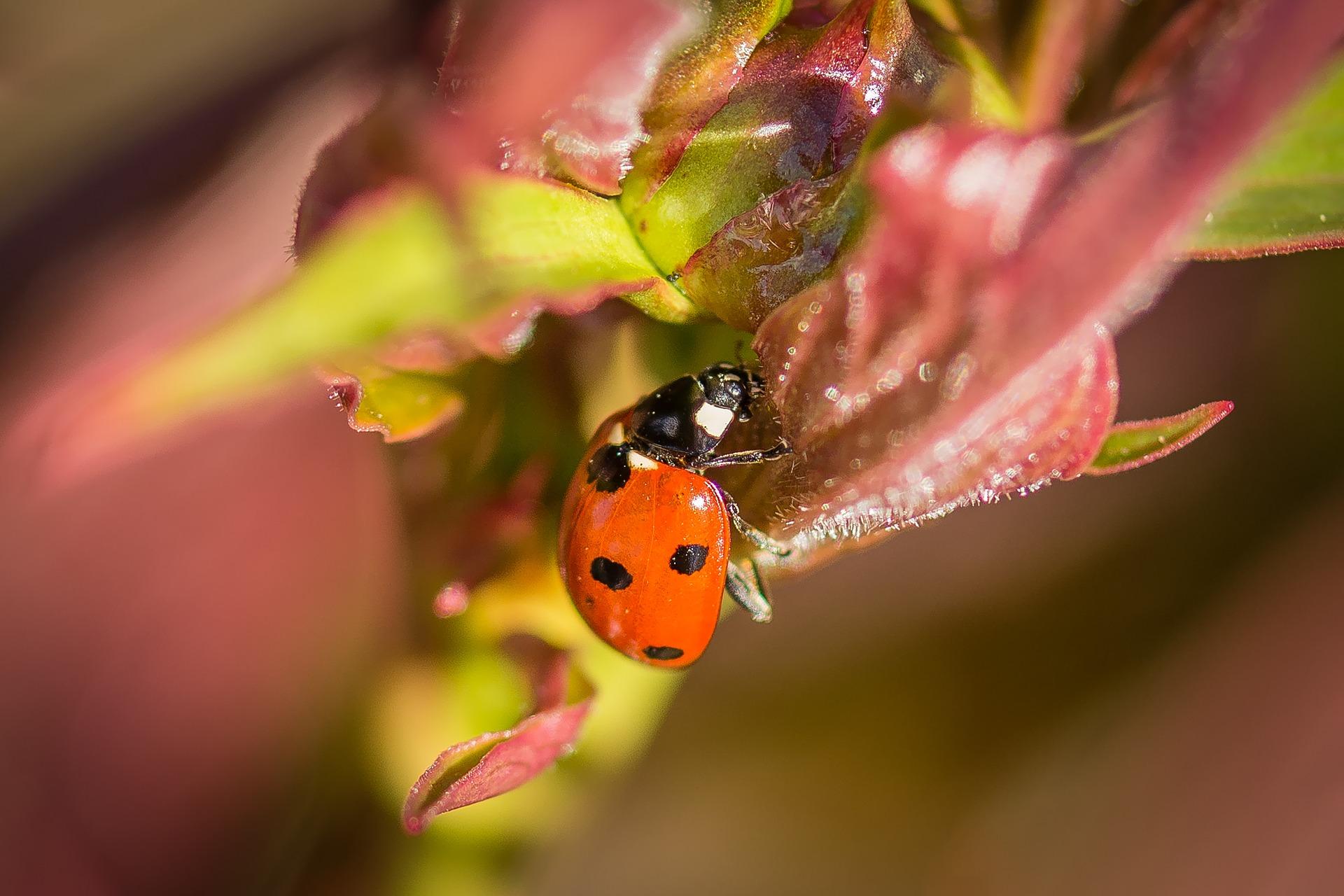 ladybug-2237192_1920