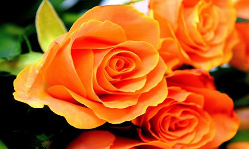 roses-3212568_1920