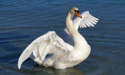 swan-1934062_1920 (1)