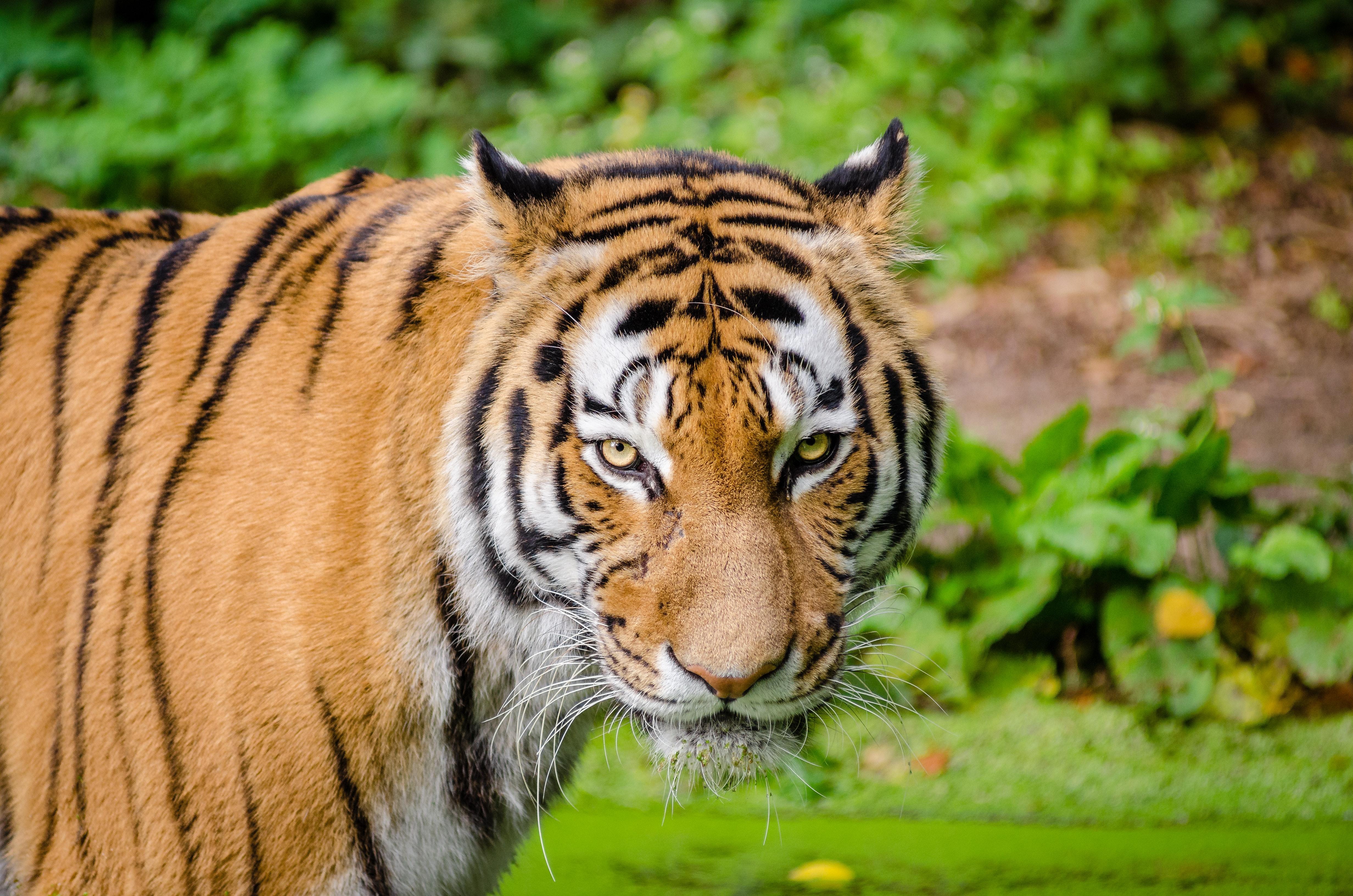 animal-animal-photography-big-cat-146067 (1)