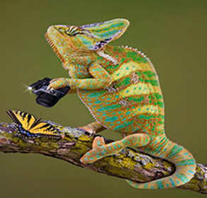 6894962 – a veiled chameleon is taking a photograph of a butterfly.
