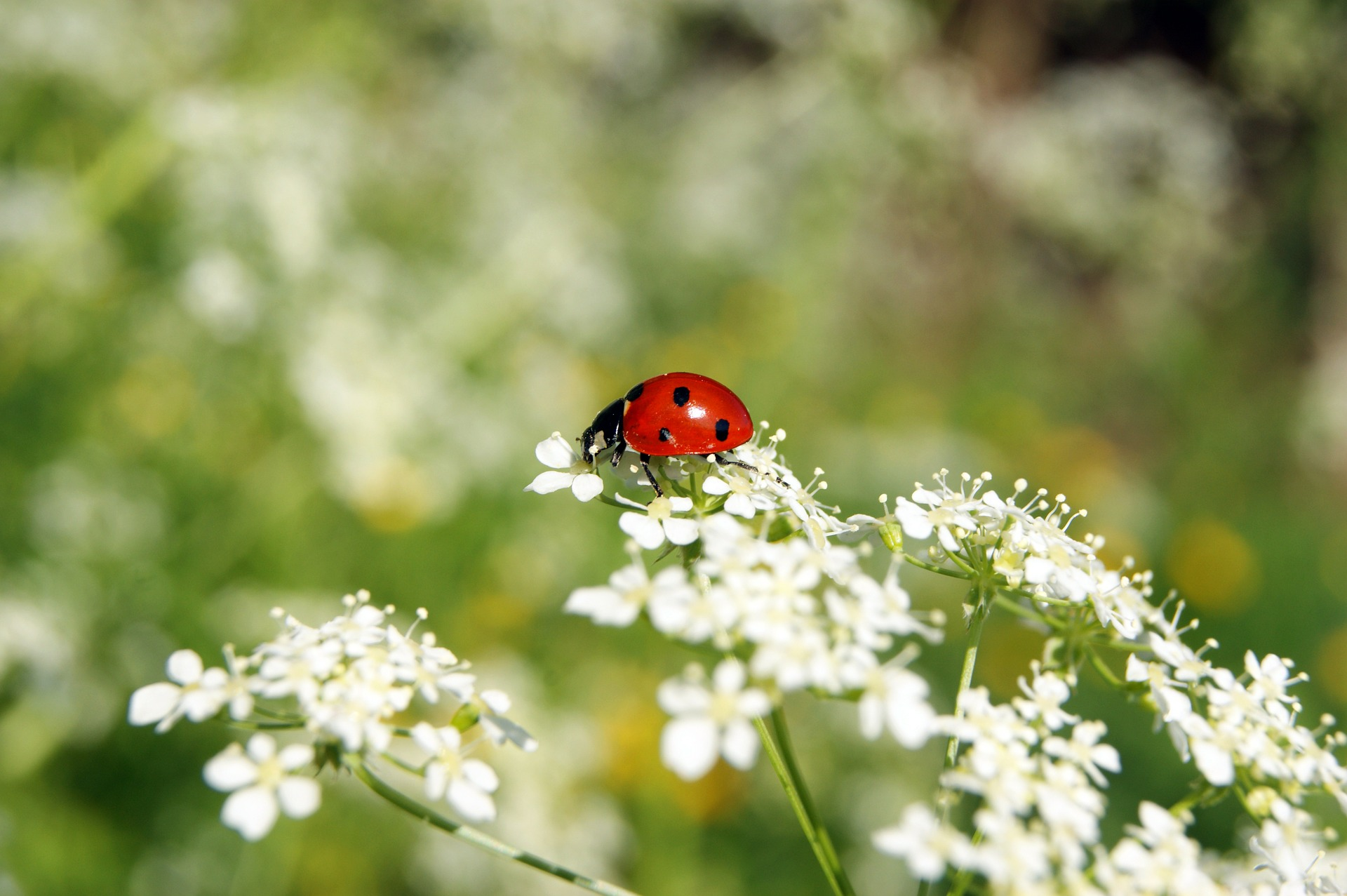 ladybug-326830_1920